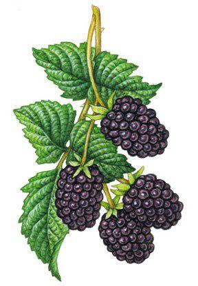 berries clipart boysenberry #30971277