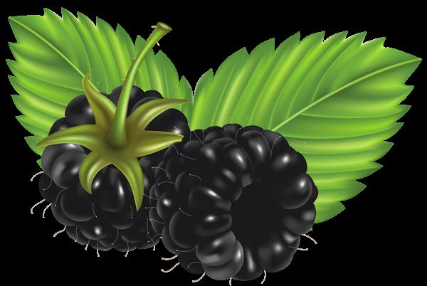 Berries clipart forest berry. Blackberries png vector image