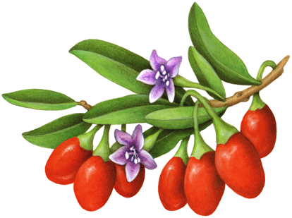 Red goji berries on a branch with leaves and two purple goji flowers