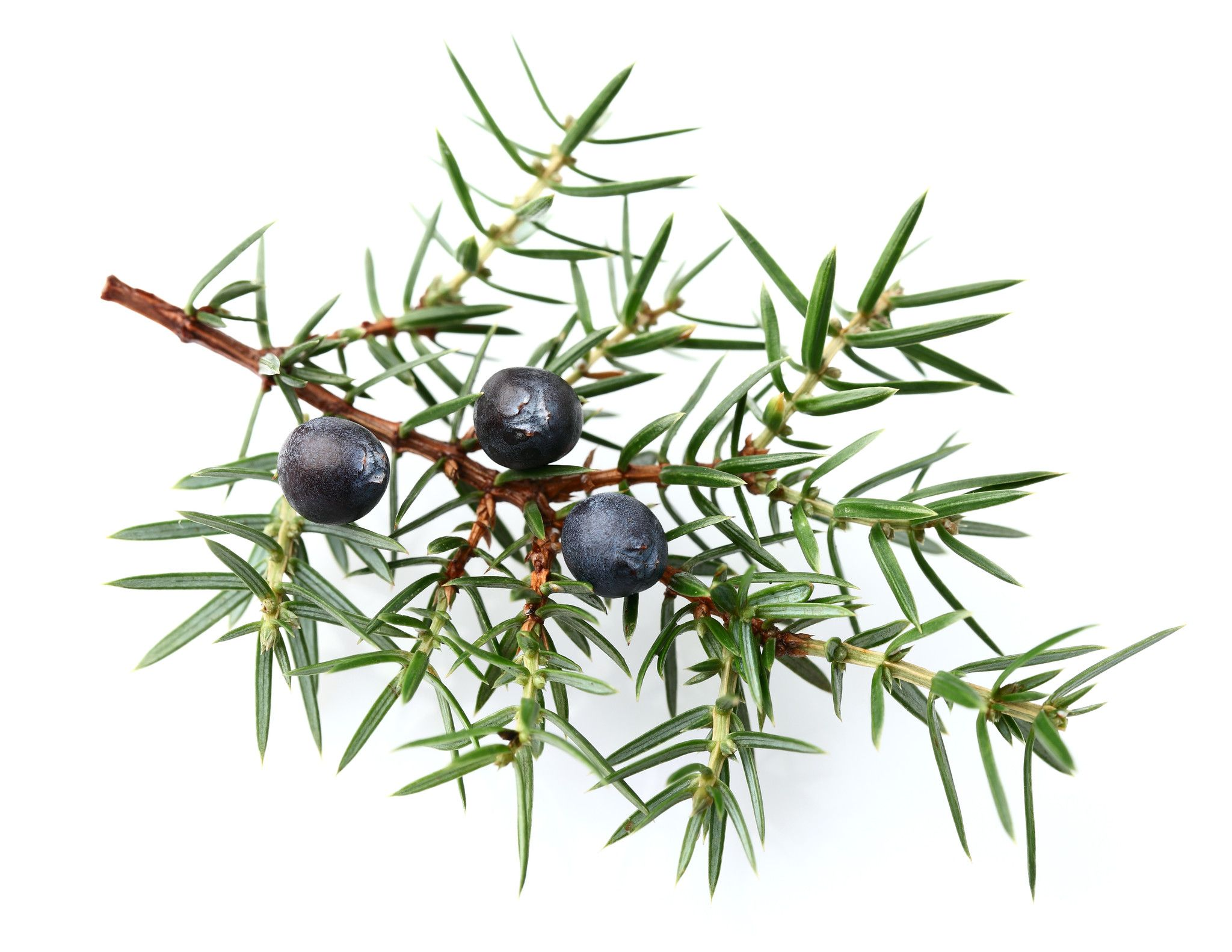 Blueberry clipart juniper berry. Berries google search label