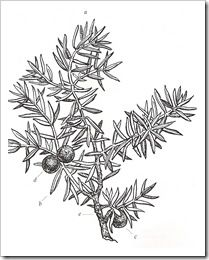 Blueberries clipart juniper berry. Berries drawing google search