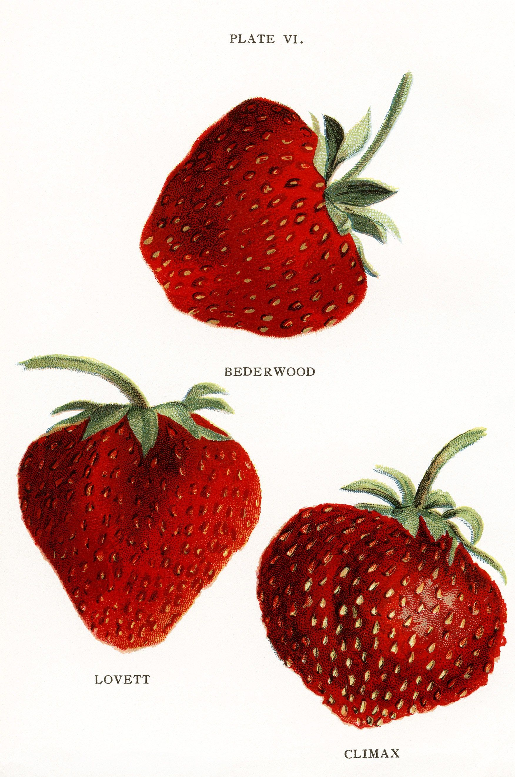 Vintage strawberries clip art. Berries clipart mixed berry