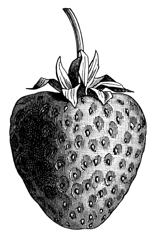 Vintage strawberry clip art. Berries clipart single