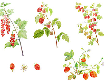 Watercolour berries