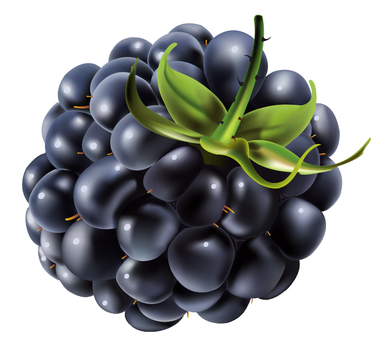 Blackberrry drawing png image. Berries clipart transparent background