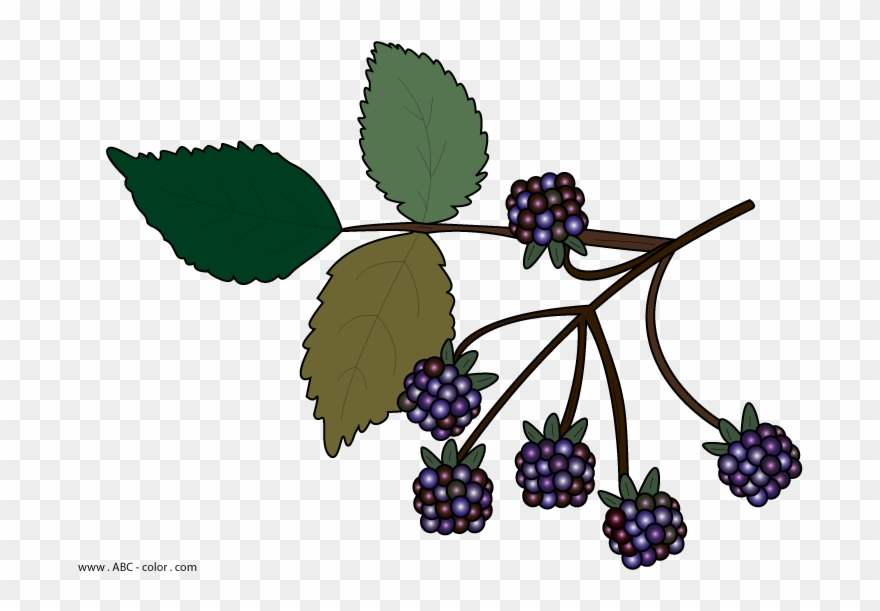 Blackberries no background png. Berries clipart wild berry