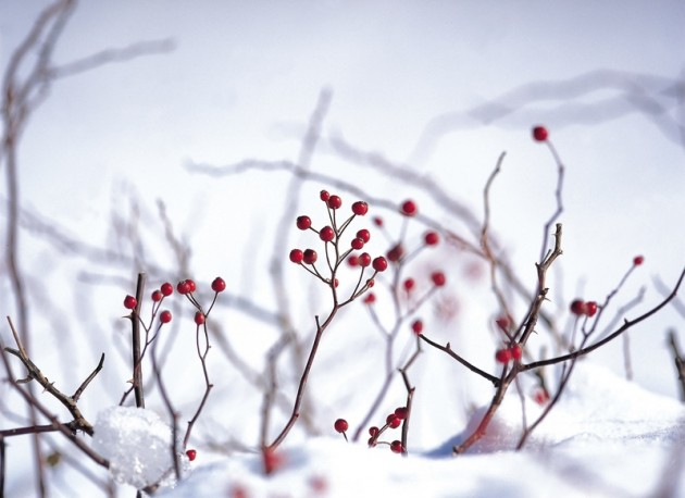 Berries . Berry clipart winter
