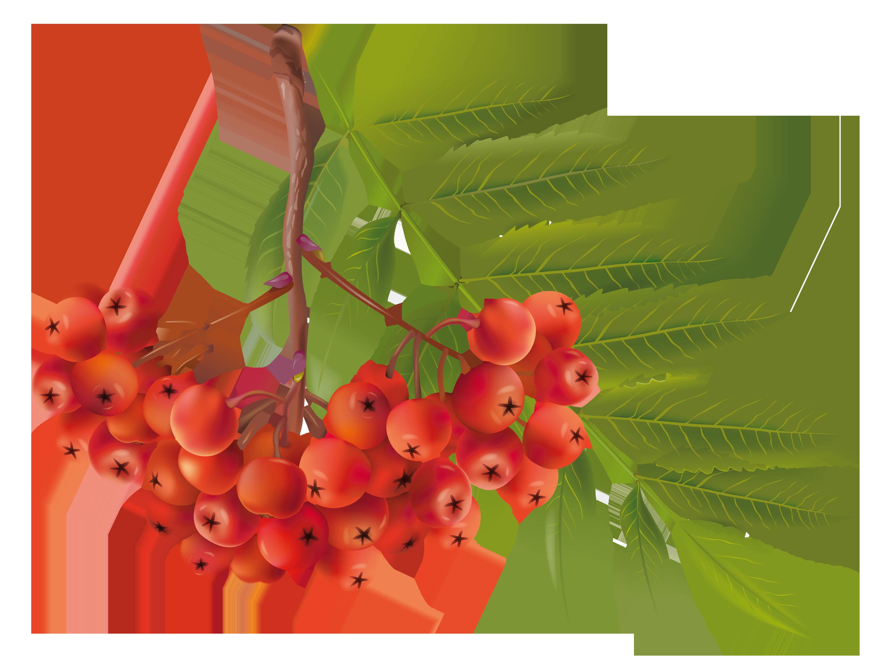 Autumn plant png image. Winter clipart berry