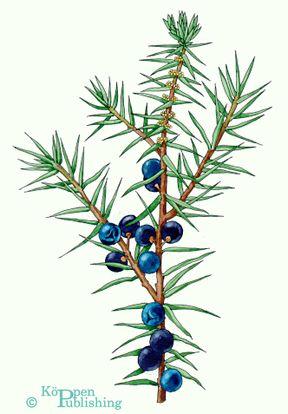 Blueberries clipart juniper berry. Wacholderbeeren berries botanical illustration