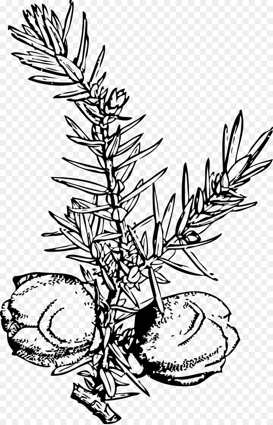 Drawing clip art leaf. Blueberry clipart juniper berry