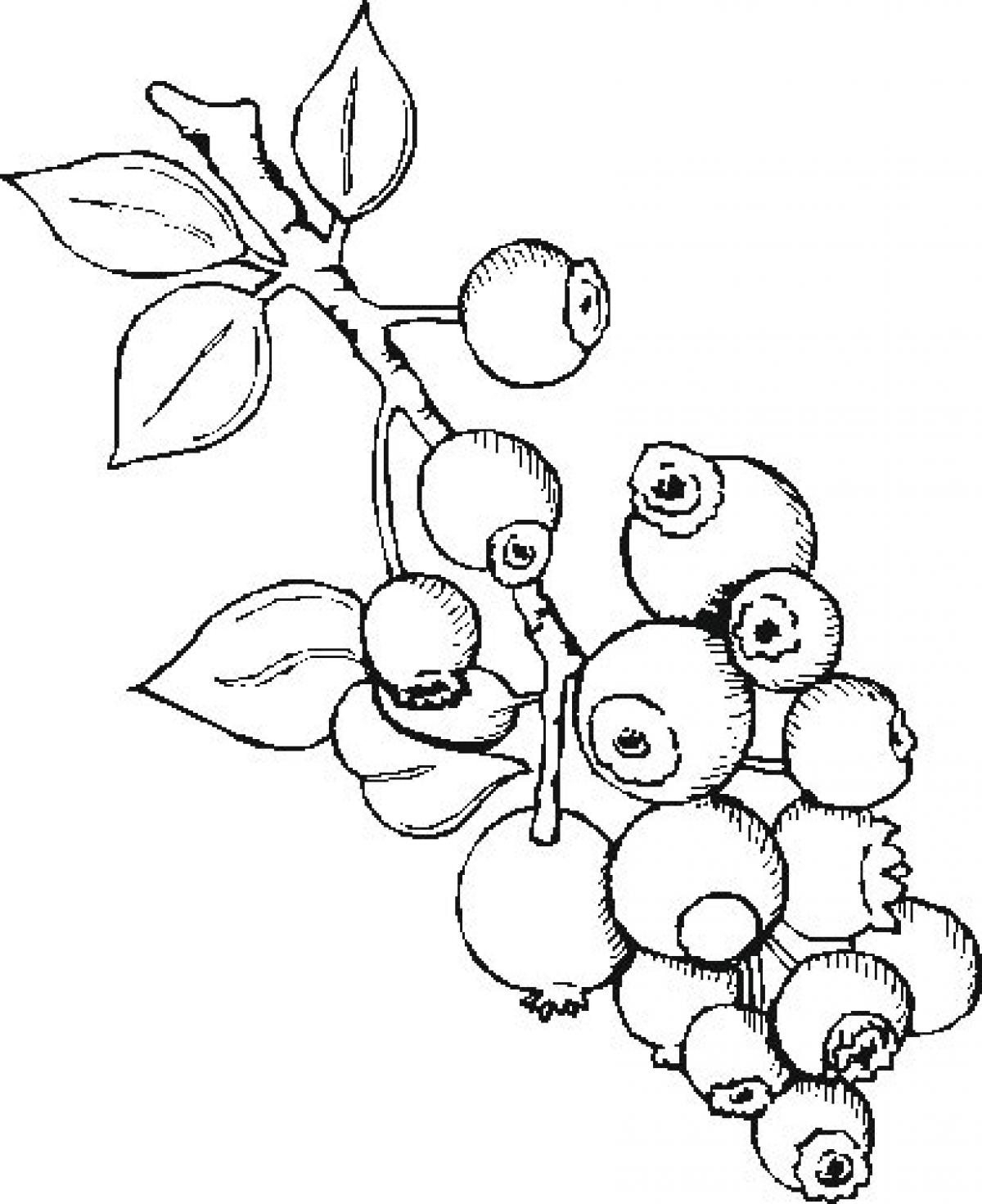 Berries clipart outline. Drawing at getdrawings com