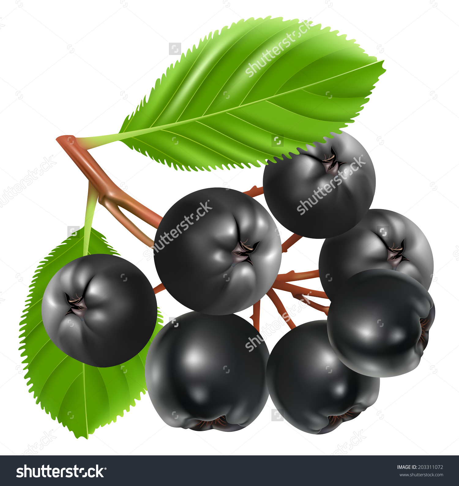 Berry clipart vector. Aronian berries clipground aronia