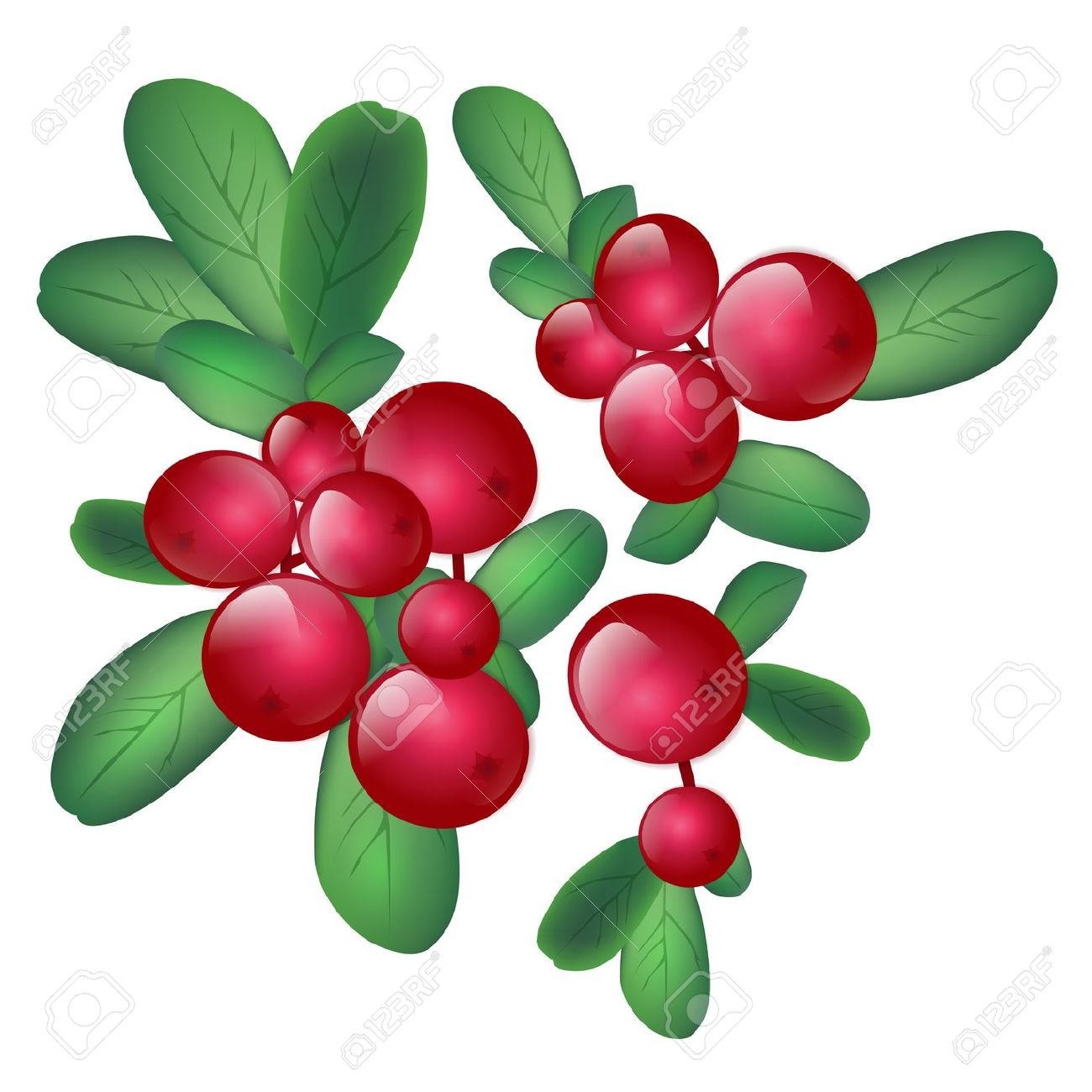 Cranberry . Berry clipart vector