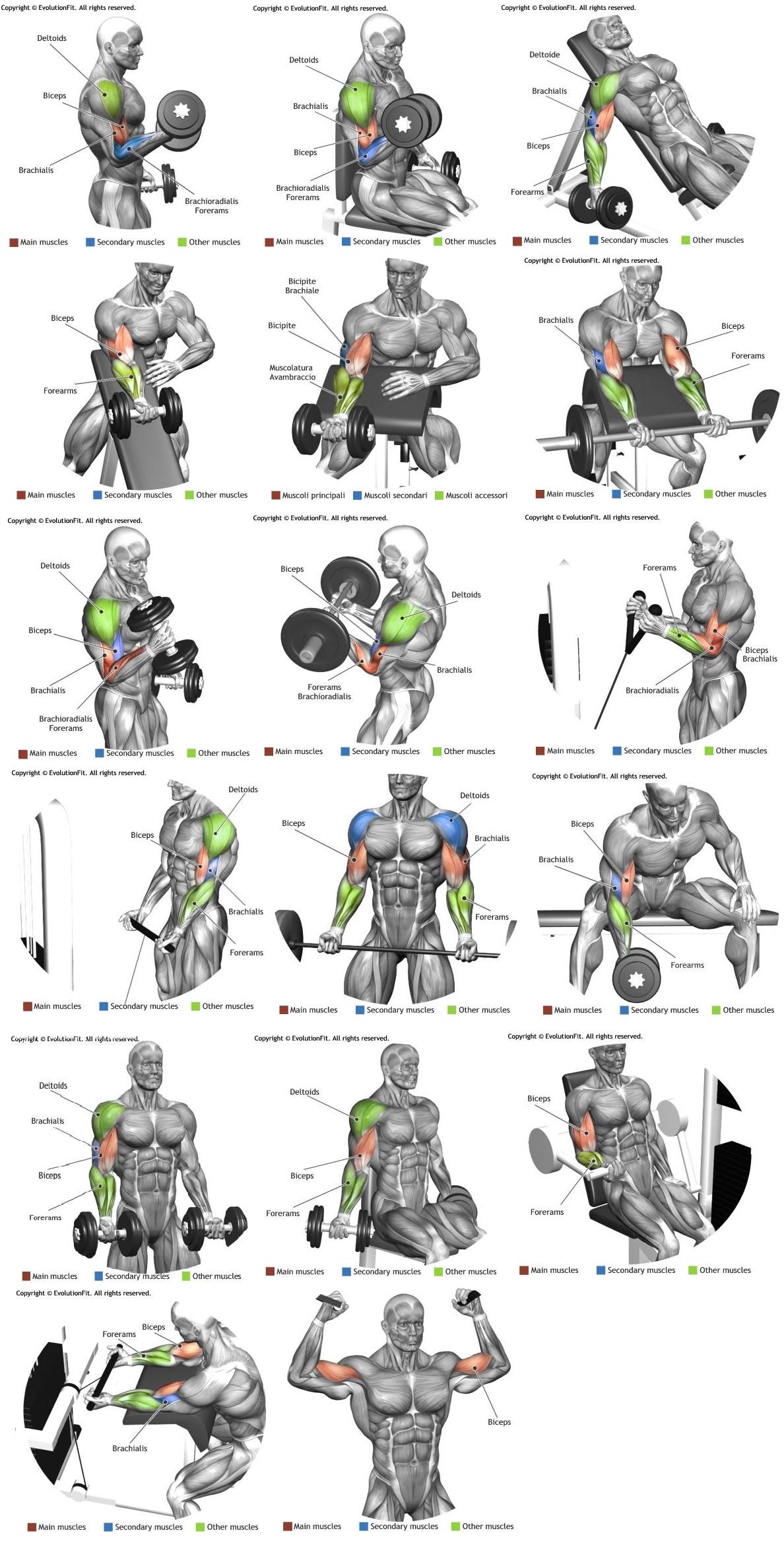 Bra clipart forearm. Biceps e braquial muscle