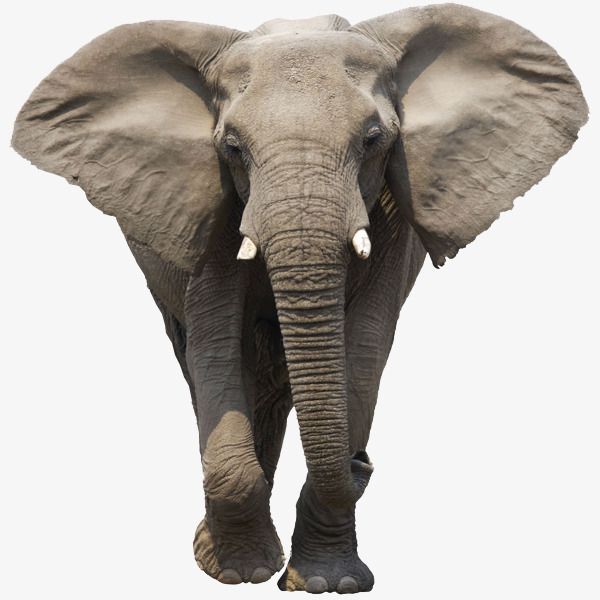 Big clipart african elephant. Large ears animal material