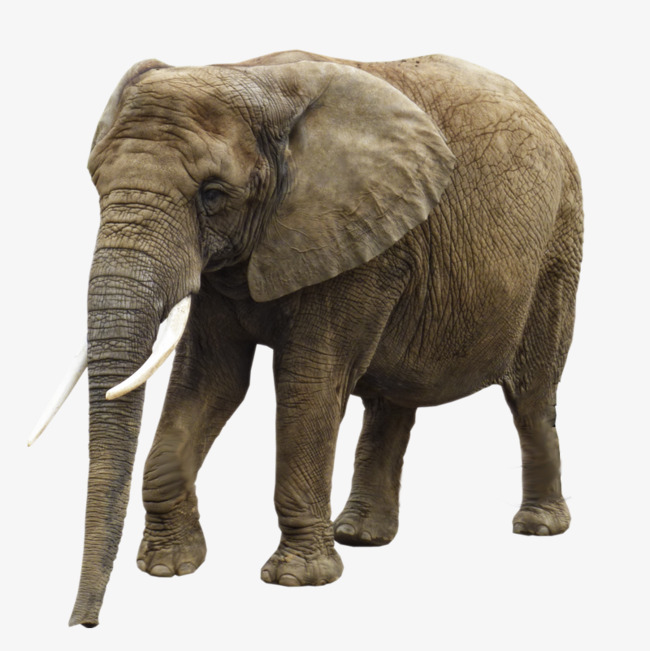 Old ears ear png. Big clipart african elephant