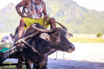 Big clipart carabao. Search photos water buffalo