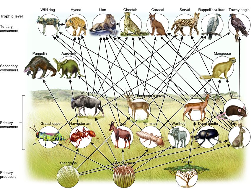 Food web the savanna. Chameleon clipart grassland animal