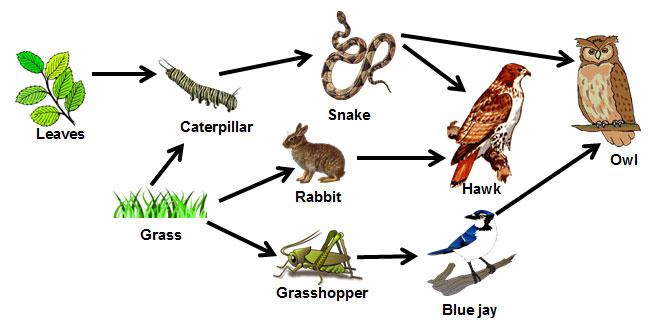 Big clipart food chain, Big food chain Transparent FREE ...
