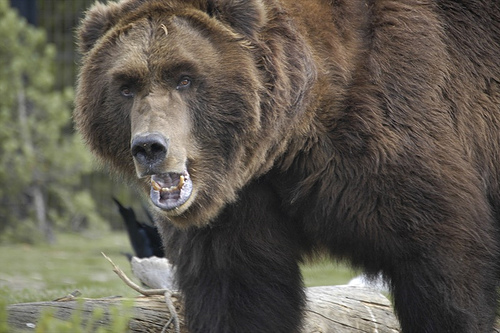 Big clipart grizzly bear. Clip art and picture