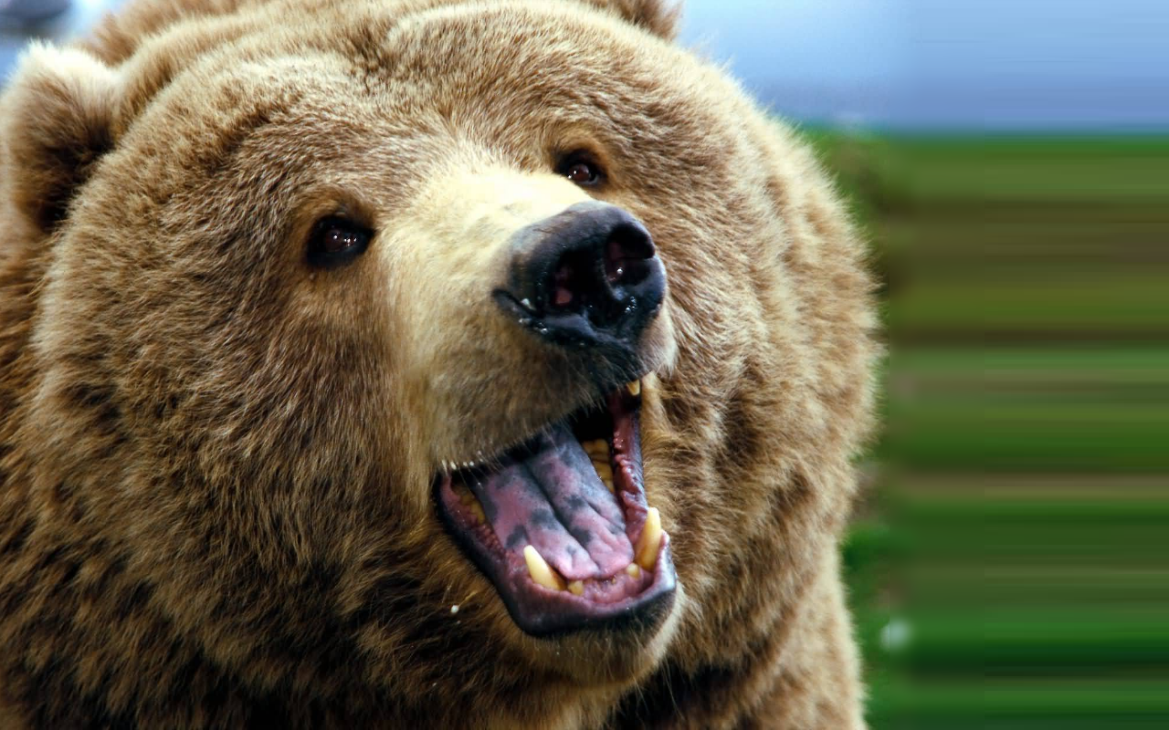 Big clipart grizzly bear. Hd wallpaper background images