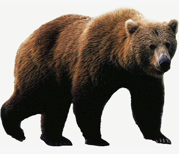Large animal grizzlies png. Big clipart grizzly bear