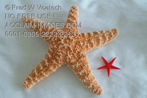 Stock photo of a. Big clipart starfish