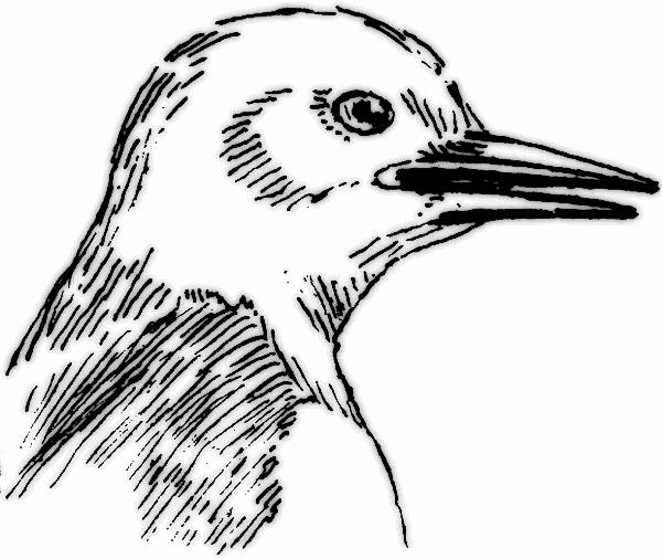 Bill clipart bird. Beak clip art library