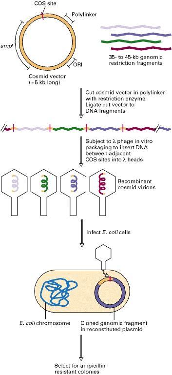 Figure general procedure for. Biology clipart cloning