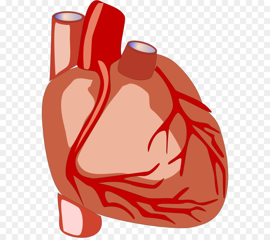 Body clipart human biology. Heart anatomy organ clip