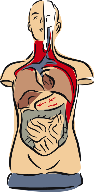 Biology clipart human physiology. Anatomy free download best