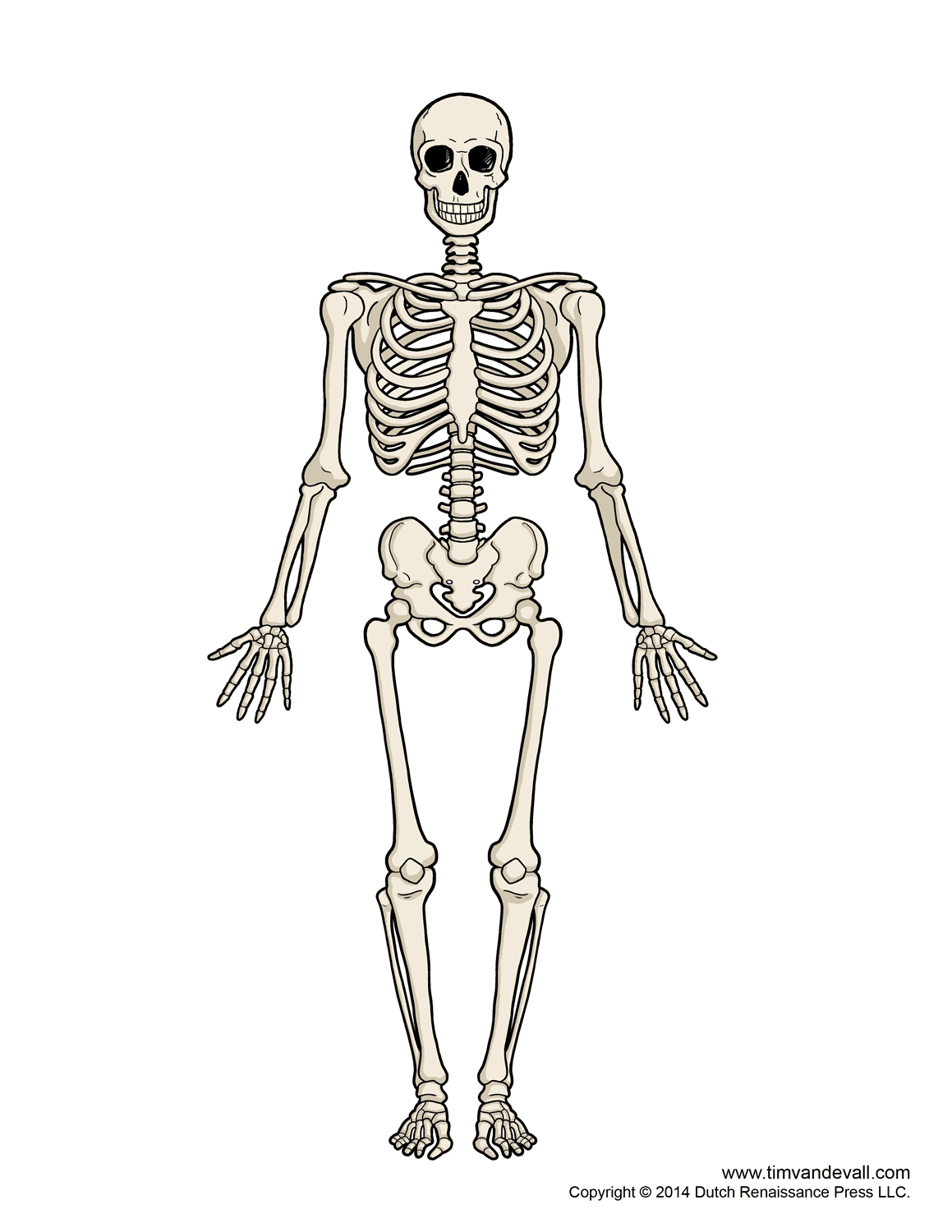 Biology clipart human physiology. Skeletal system bone structure