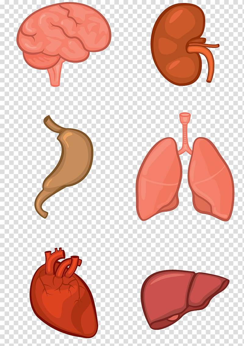 Internal organs system human. Body clipart organ