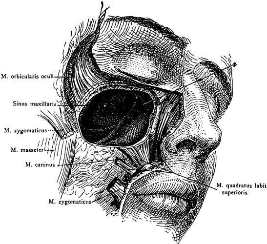 Sinus nose human anatomy. Biology clipart printable