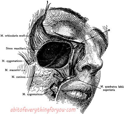 Biology clipart printable. Male human anatomy sinus