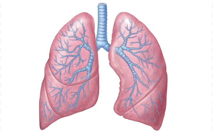 Lung body anatomy organ. Lungs clipart human biology