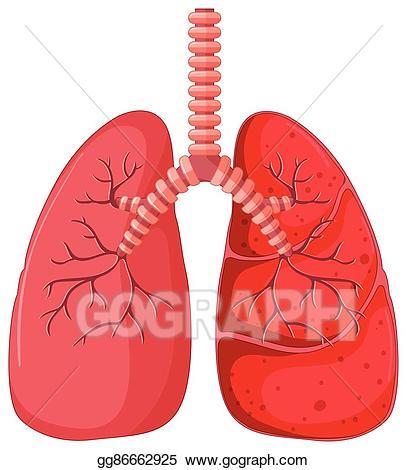Lungs clipart pneumonia. Vector art lung diagram