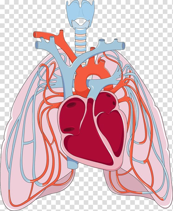 Lungs clipart lung heart. Pulmonary circulation bronchus disease