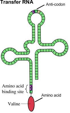 Biology clipart translation.  the function of