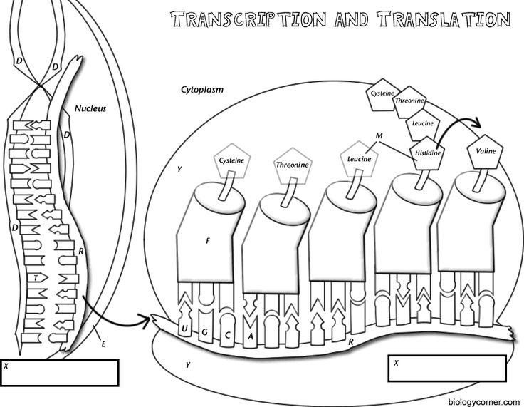 best genetics images. Biology clipart translation