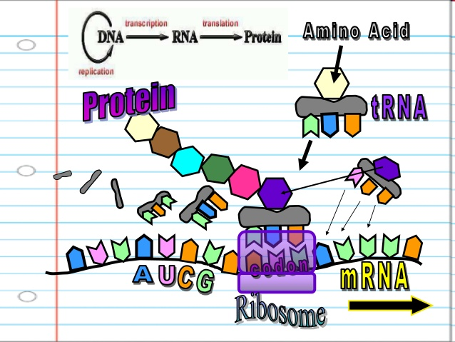 collection of dna. Biology clipart translation
