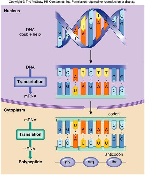 best images on. Biology clipart translation
