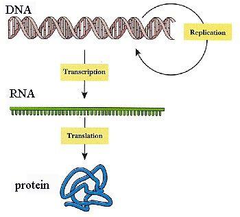 Biology clipart translation.  best dna images