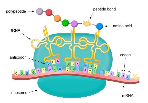 Biology clipart translation. Diagram of process tshirtmaker