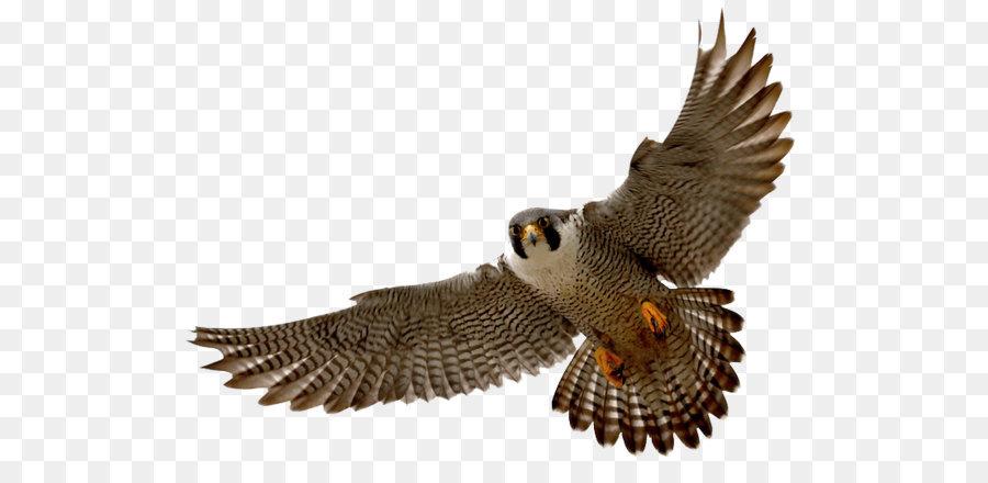 Falcon clip art png. Birds clipart falcons