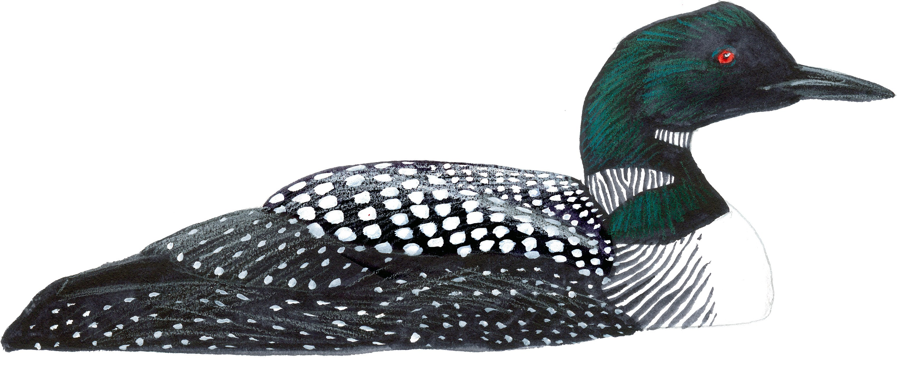Common john muir laws. Bird clipart loon
