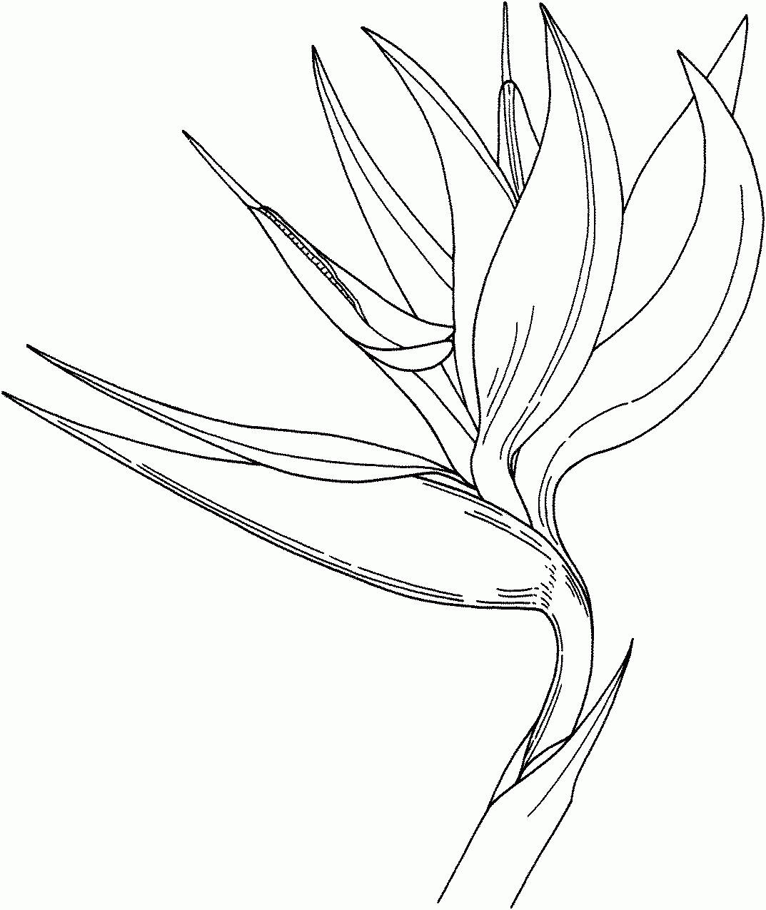 Of drawing flower coloring. Bird clipart paradise