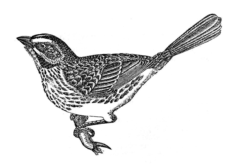 Bird clipart vintage.  cute images sparrow