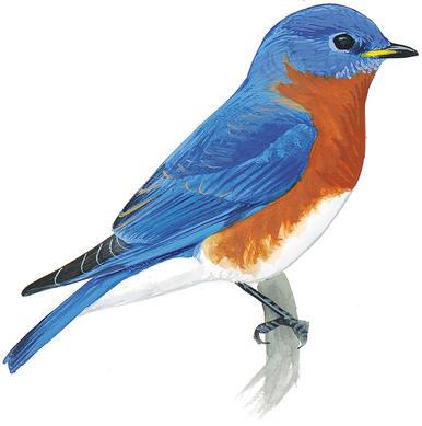 Diy build a bluebird. Birdhouse clipart pigeon house