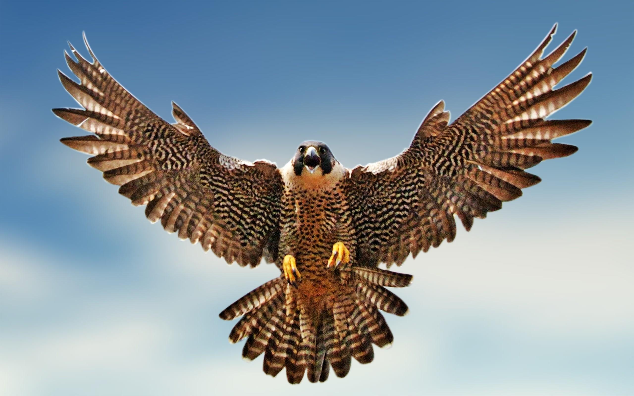 Falcon hd wallpaper background. Birds clipart falcons